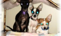 two 4 month old chihuahua puppies both paints, one is tri color the other is tan/white. The third chihuahua is a female aprox 1 year old. all three are potty pad trained and must have an inside home only. All three are very tiny. They will stay small not