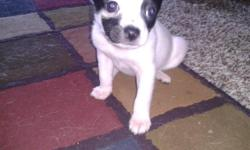 Dad is papered long hair standard, and mother is a fawn teacup. We have two males ready to go. These dogs already pounce and bark like tough dogs. Great for a family with kids or perhaps a lapdog for someone.$400.00 Born August
