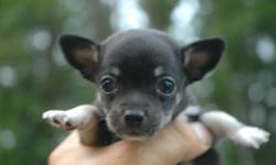 CARRIAGETOWN TOP BREEDER AWARD CHIHUAHUAS BABYS BORN 6/23/11 TAKING DEPOSIT OF $150.00 PARENTS ON SIGHT AKC DAD & CKC MOM, LITTER OF 3.... ***1 PUPS AVAILABLE AT THIS PRICE the larger of the 3 pups still available*** PUPPIE VET LETTER OF GOOD HEALTH,