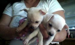 2 females and 1 male 6 weeks old small and cute. Has been dewormed and first shots and vet checked. contact me at --