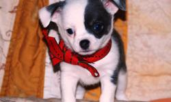 Christmas Chi Pup! This is Skye. He is a beautiful blue and white smoothcoat who is ready to go to his new home Dec 23rd. Skye is a home-raised pup with wonderful breeding. He is a real cuddler and will sit on your lap all day if you want him to. Health