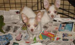 sweet beautiful socialized chihuahua puppies 2 left 1 male white with fawn spots 1 female mostely white with fawn spots  notice 1 side has a heart spot first 2 sets of shots wormed 8 weeks will hold till christmas