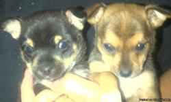 Chihuahua tiny pups shots and dewormed for more information text or call --