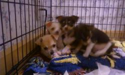 WE HAVE REGISTERED CHIHUAHUA PUPPIES FOR SALE 2 FEMALE 1 MALE SHOTS AND WORMED BORN MARCH 11, 2011 BEAUTIFUL APPLE HEADS LOCATED IN EAST WICHITA
