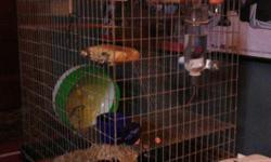 Hello, My name is Eric I am the proud owner of two grey Chinchillas that are 5 years old. Unfortunately due to circumstances I have an allergy to these little guys and I am looking to find them a good new home to live in. With them I will include their