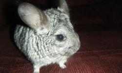 I have a male chinchilla thats 1 and ahalf yrs. old and the female is 2 yrs. old. They are a proven breeding pair. They will come with dust bath,bath house,hide house,rasins (they love them for treats) I just don't have the time to spend with them and