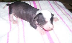 3 Handsome Little Males, 2 Beautifully marked Black/White PowderPuffs and 1 Chocolate and Pink with White Furnishings. Pups were born on Jan. 2, 2011 and will be ready to go on Feb. 28, 2011. They will be fully vetted and Registered before they leave for