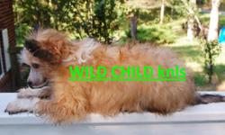 http://www.crested.us wonderful WORLD class slate (tri-color) out of imported from Russia parents, elite proven stock, european famous bloodlines. The boy is correct to the standard, absolutely adorable, sweet tempered, splendid coat, show home is