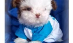Hi I have a litter of Imperial Shih Tzu Puppies 3 boys and 5 girl well be ready to go to there new homes on July 7 they will be around 5 to 6 lbs with short legs If your are interested we are now taking deposits for more info please call me or txts at