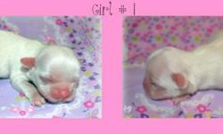 Hi I have a new litter of Chinese Imperial Shih Tzu Puppies 2 boys and 2 girls well be ready to go to there new homes in September They are AKC registered so if your looking for a Imperial or a tea cup you came to the right place some of these babies have