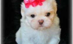 Solid white Imperial female with black or blue pigment 9 weeks old will est to weight 6 to 7 lbs short legs and short back she has such a cuddly personality, she is potty trainied AKC limited full AKC is available if wanted. she is ready for her forever