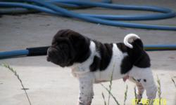 Chinese Shar Pei Price 75 For Sale In Murrieta California Best Pets Online