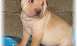 """Star Gate Sharpei Rescue has """"Missy"""" She's 10 weeks old. Sire and Dam are AKC Registered. Our Rescue only accepts donations to help support our Mission to find good homes to very special Pups. We have 2 Litters that are available. Missy is just one."""
