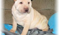 """""""Chrissy"""" From Star Gate Sharpei Rescue. She is a Apricot Cream Meat Mouth Brush Coat. Both Sire & Dam are AKC Registered. We only accept donations to help our mission to find great Homes for Beautiful Sharpei Puppies. Chrissy also has Sisters and"""