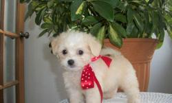 2 Male ChiPoo's (Chihuahua/Toy? Poodle) born on 6-17-11. UTD on shots and comes with a health warranty. *?* Credit Cards Accepted (Visa/MasterCard??????) ** No Credit Check Financing Available (Please Inquire) ** Shipping Available ** Microchipped???? ?