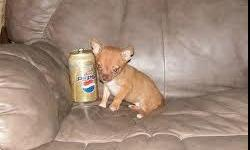 Very cute small chiuahuah puppy, loves to cuddle, and is very calm natured must sell asap