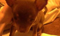 8 week old chocolate chihuahua puppy. Goes by the name of Misty, or Missy. She comes with: dog kennel, puppy food, chew toys and a few other things for puppies. I'm asking for $275.00, for the puppy and all. If you have any questions, please ask.