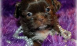 I have a Imperial Shih Tzu Puppy female Chocolate she will be no bigger then 7 lbs with short legs and short back AKC. She will be ready to go to her forever home on the first week of july if your are interested we are now taking deposits for more info