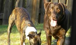 *CHOCOLATE LAB AND WHIPPET MIX FREE TO GOOD HOME* We are saddened that we need to give our two doggies away, but due to family circumstances we just do not have the time we once had to devote to them. We are located in the Gardendale area. Please read the