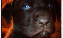 Beautiful Chocolate Lab pups. Some with blue eyes. already have first parvo vaccination,8 weeks old. We own both parents, pure chocolate lab. 1 female 5 males