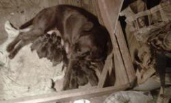 We have a new litter of Chocolate Labs and they are beautiful. Both parents have champion backgrounds and given lots of love. Please go to our web page for more information. labradorretrieversofmarvin.com