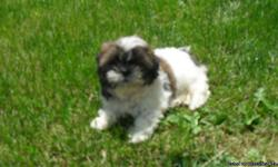I have two chocolate shih tzu's and one tri colored they have had their first shots, been dewormed and are pee pad trained.They are all ready for their forever homes! If interested call Lisa @