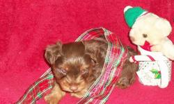 This is your rare Chocolate Yorkie and he has a beautiful Brown with a plush coat.Quite rare in this area.Your chance to own a real Chocolate Yorkie..He will leave here in January with a shot and worming.I am taking deposits on him now.The picture of the