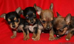 Chorkie puppies-Chihuahua/Yorkie. Very sweet, pre-spoiled female puppies that loves to play. They are ready to go. They are very cute. They have been wormed had their First set of Vaccinations. They lighter brown girls do not have their tails docked and