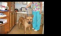 Bella is a chow/Sharpe mix. She is very sweet and would be a great guard dog. She is fixed, on heart worm preventative and has all her shots! ready for a new home! Adoption fee $100.