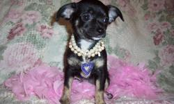 Chihuahua puppies two female one male paper trained just in time for Christmas. Call 770-361-9588 parents can be seen as well good health very active and loving.