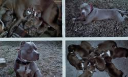 Beautiful Pure Bred Blue Pit Bull Puppies. All shots and worming up to date. Good temperment, socialized pups have been around children and other dogs. UKC registered. Pictured is mama (blue), daddy (champagne), all puppies are bluest blue. Born on
