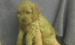2 Male Cock-A-Poo's (Cocker Spaniel/Toy Poodle's) born on 10-20-12. UTD on shots, vet checked, and comes with a health warranty and health certificate. ** Shipping Available ** Credit Cards Accepted (Visa/MasterCard, Discover) ** 90 Days Same as Cash No