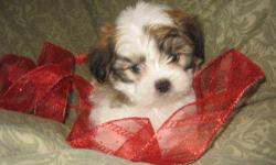 Male Cuddle Bear (Maltese/ShihTzu) born on 10-17-12. UTD on shots, vet checked, and comes with a health warranty and health certificate.   ** Mom is a ShihTzu (8 pounds) ** Dad is a Maltese (6 pounds) ** Shipping Available ** Credit Cards