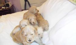 F1b babies, born 11-3-12.  Dew claws taken, wormed and first shot given.  Will be ready for Santa to deliver.  These babies are riased inside with love and full attention.  Go to Blairdoodles.com.  Puppies are in Livingston, Al