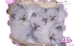 We have the perfect Christmas present for you or the one you care about. We now have 5 Beautiful and Rare Himalayan Kittens. We have 1 female and 4 males. Our females are always super active and our males love to cuddle and sit in your