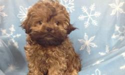 Male PekaPoo (Pekingese/Toy Poodle) born on 9-24-12. UTD on shots, vet checked, and comes with a health warranty and health certificate.  ** Microchipped ** Shipping Available ** Credit Cards Accepted (Visa/MasterCard, Discover) ** 90 Days Same as