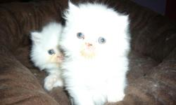 PURBRED, NO PAPERS. ALL WHITE SNOW BALLS OF FUR, TWO MALES, ONE FEMALE. -- LODI ,CA.