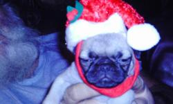 ckc pug puppies just in time for christmas has had shots and been wormed raised in doors with lots of love will be ready for christms as said 843-283-4859 ask for kathy