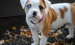 I have Beabulls....English Bulldog x Beagle hybrid. One mistake litter....cute 12 week old more Beagle looking...mostly boys...Beabull to Beabull bred. Nice colors...sweet dispositions...4 left. They will make great pets. 3/4 English Bulldog / 1/4 Beagle