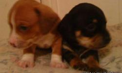 addorable 1/2 miniture dachshund 1/2 chihuahua pups will be ready 12/24/2010. 2 males mini chiweenies very cute. 150 will negotiate.