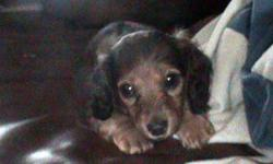 AKC miniature dachshund pups 4 sale. Call or txt 561/688-3970 for more info.