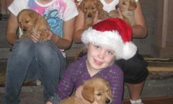 THE PERFECT CHRISTMAS PRESENT ADORABLE GOLDEN RETRIEVER PUPPIES...4 FEMALES...AKC PAPERS...8 WEEKS ON 12-22...SUPER SWEET & PLAYFUL...BOTH PARENTS ON SITE...FAMILY RAISED...GREAT WITH KIDS...HEALTHY & LOVEABLE... 1st SHOTS AND
