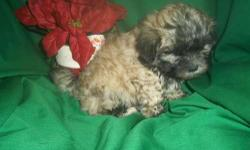 Female ShihPoo (ShihTzu/Toy Poodle) born on 10-18-12. UTD on shots, vet checked, and comes with a health warranty and health certificate.   ** Mom is a ShihTzu (8 pounds) ** Dad is a Toy Poodle (4 pounds) ** Shipping Available ** Credit Cards