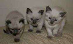 Siamese cats and kittens are curious, playful, and love attention. They are a pleasure to have around and make great companions. These are purebred applehead Siamese kittens. The litters are CFA registered. They are hand raised and have