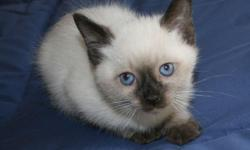 his male traditional siamese kitten loves to play and loves to sleep.  He has an excellent temperament is litter box trained has had his first shots and the litter is CFA registered. He is 8 weeks old and ready for a new home.   Call