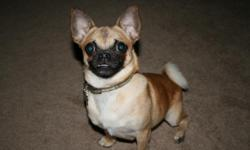 """We've had """"Louie"""" a 10lb Chihuaha/Pug mix for 2 years now since he was a 12 week old pup. Unfortunately, he is no longer working out in our household. We got him when our 2 yr old daughter was born so they would grow up together. Everything has been fine"""