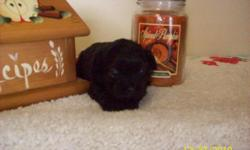 CKC Registered, Non Shedding and Allergy - Friendly. All Black with white chest . Parents both in home, They are all a part of this Family, with Children, and other pets too. Worming, First and second shots. You will Receive, Registered Papers, Health