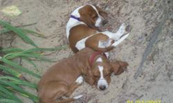 I have 2 litters of adorable basset hound puppies. 1 litter is 2 males, 8 weeks old, and have been wormed with their 1st shots. 1 is tri color the other is lemon spotted. The second litter is 6 weeks old, 3 males and 3 females. They have also been wormed