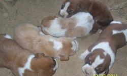 I have 5 new babies that were born 7-23-2011. There is 3 females and 2 males. The females are almost solid colors and the 2 males spotted.They are red/white and lemon/white. Here are some pictures of the puppies and their parents. I have one set of the
