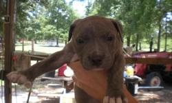 I have 4 CKC pit pups 1 Blue female, 1 Fawn female, 1 blue male and 1 blue fawn male i have the mom and dad to see the dad is a blue 115 lbs and the mom is a fawn 75 lbs. The pups are 5 weeks old wormed, and will have 1st shots before they go to a new
